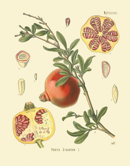 [ Botanical Print: Punica granatum, Pomegranate fruits ] illustrated by Franz Eugen Kohler (c. 1883-1914). For sale (or admiration). ~ on Missouri Botanical Garden Press mbgpress.info