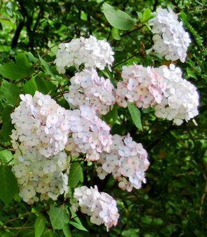 Endless Summer 'Blushing Bride' hydrangea.