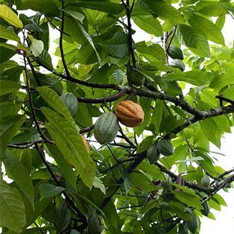 Czekolada rośnie na drzewie, a dokładnie jest to drzewo kakaowe (inaczej kakaowiec).