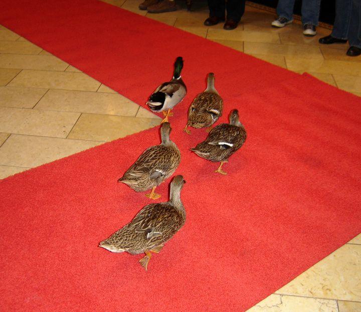 Peabody Hotel Ducks, Little Rock, Arkansas - Make Way for Ducklings