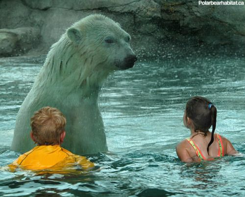 Swimming With Polar Bears of the Day: At the Cochrane Polar Bear Habitat in Cochrane, Ontario, children are invited to swim inside a wading pool attached to a polar bear enclosure, getting as close to the Coca Cola mascot as safety, and five centimeters of shatterproof glass, permit.