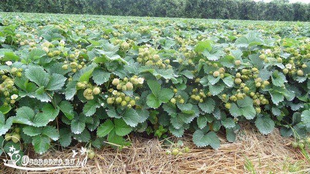 Как увеличить урожай клубники в два раза – секреты садоводов