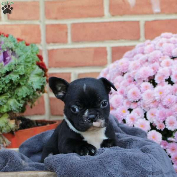 Darla Frenchton Puppy For Sale In Pennsylvania Puppies