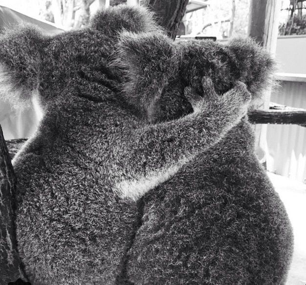 Too cute!! Koala love at Lone Pine