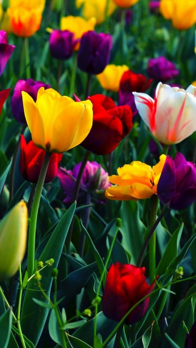 Tulips Provide The Variety Of Colors That Daffodils Lack Discuss Flowers Photography Flower Wallpaper