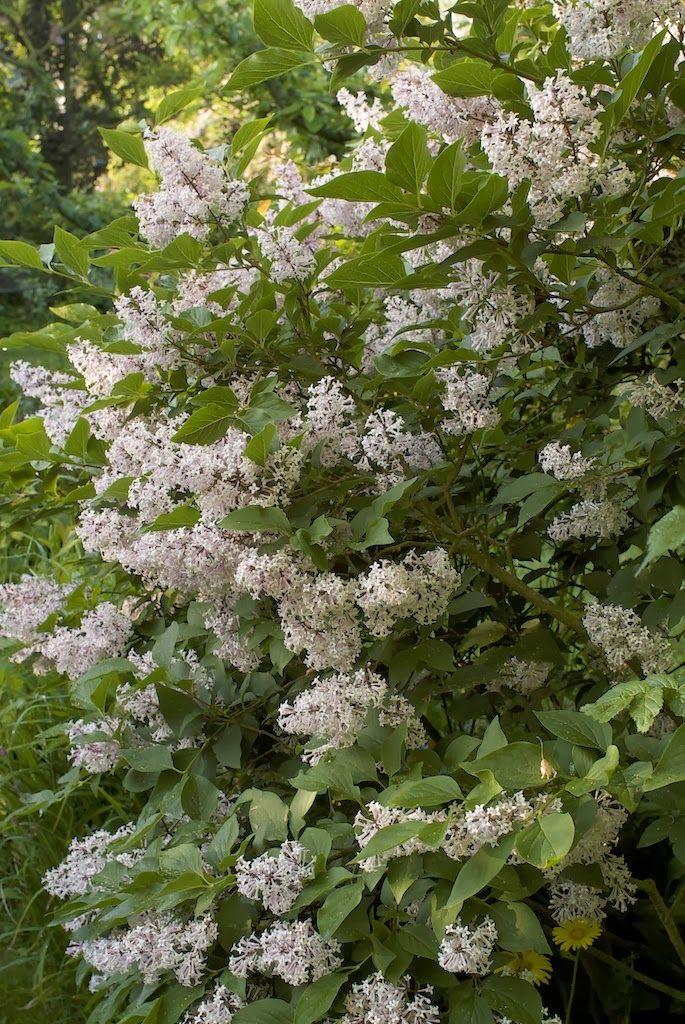 Les 318 meilleures images du tableau arbustes et vivaces for Plantes et arbustes vivaces