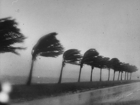 Palm Trees Blowing in the Wind During Hurricane in Florida Premium Photographic Print by Ed Clark at AllPosters.com