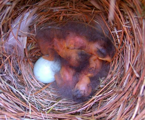 At the end of Day 1, one egg has still not hatched.  On average, 10-15% of bluebird nests have <a href=