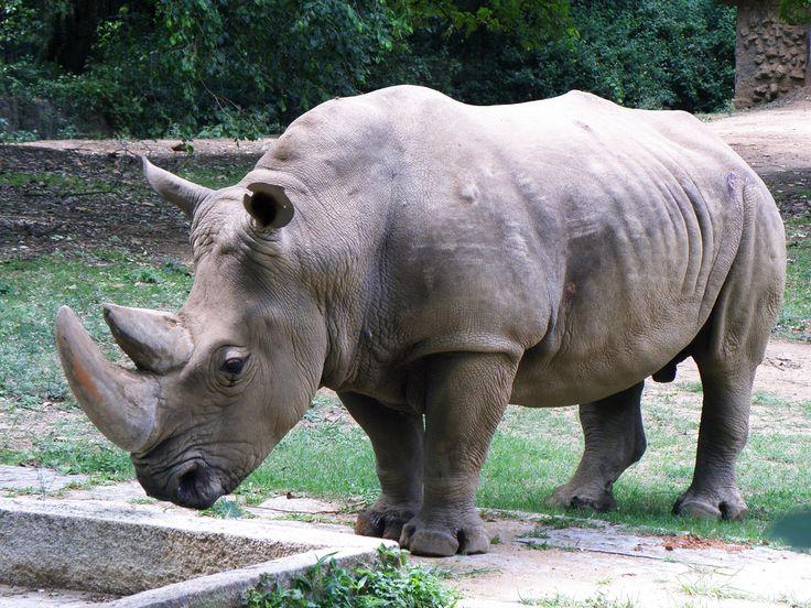 All sizes | Mysore Zoo White Rhino | Flickr - Photo Sharing!