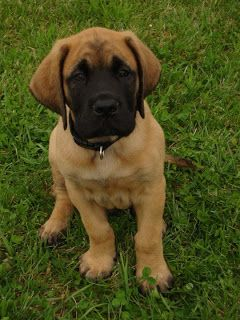 mastiff puppies - yes, we do need another animal.