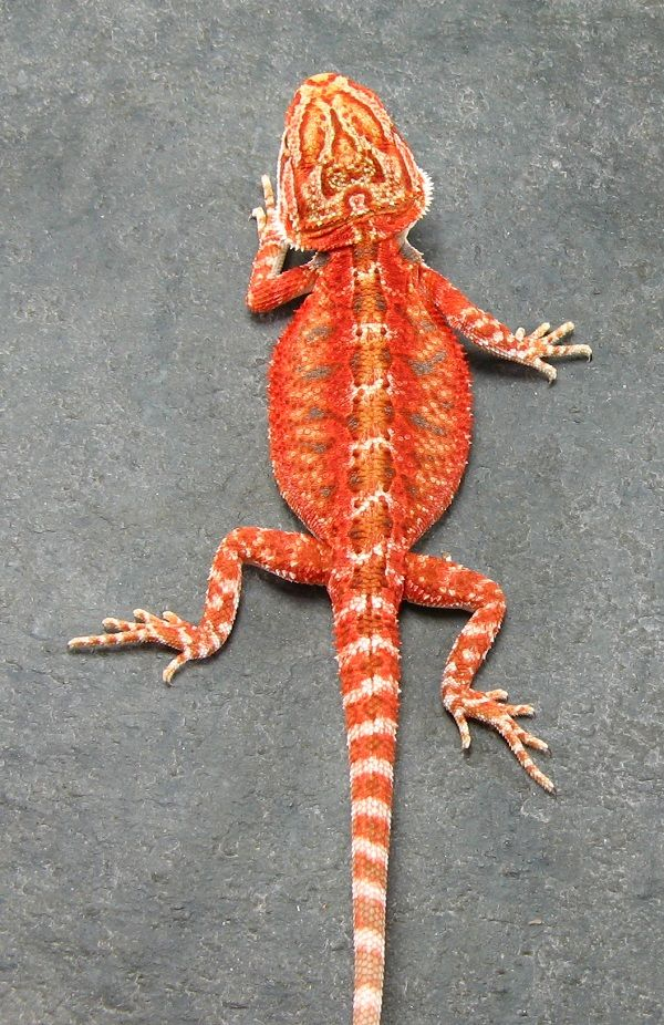 Looks like a Super Fire Bearded Dragon? So gorgeous.