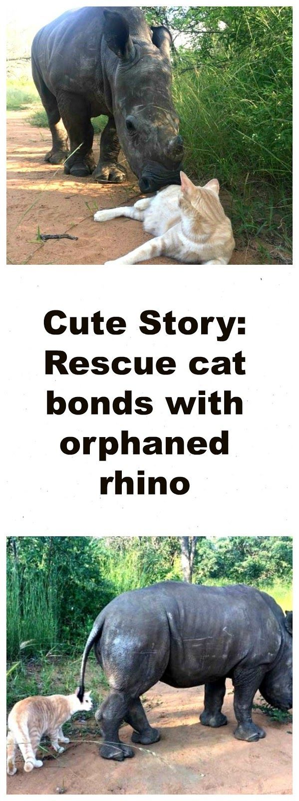 Cute Animals Story: Orphaned baby rhino and rescue cat bond and become best friends. Story and 6 pictures: http://www.traveling-cats.com/2017/02/cat-from-limpopo-south-africa.html (cute animal story, cute animals, cute baby rhino pictures, cute animal pictures)
