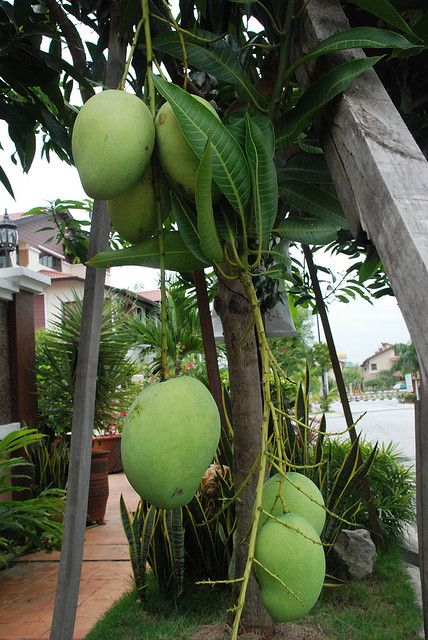 malaysian 39 harumanis 39 mangoes fruits on trees