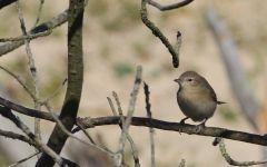 oiseau fauvette des jardins alain noel.jpg