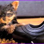 How Does The World's Smallest Dog Look Like? (Video)  Never miss the video below. You will love watching a tiny dog ter ..  http://www.dogisto.com/how-does-worlds-smallest-dog-look/