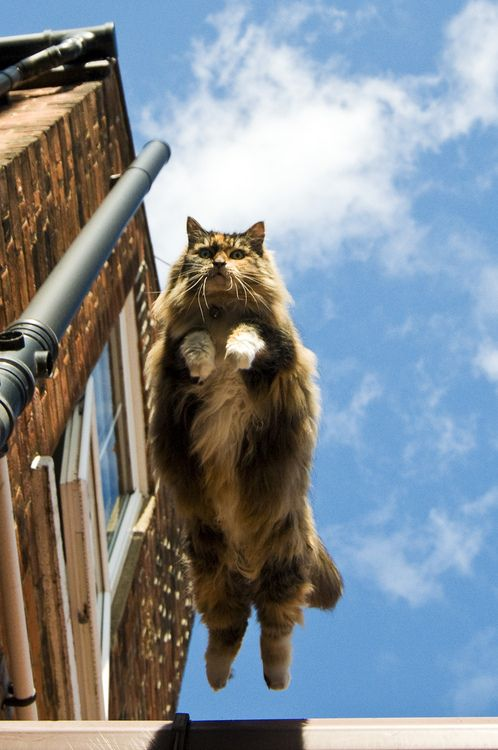 Look - up in the sky - it's a bird...it's a plane...it's a Maine Coon!