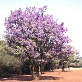 Bolusanthus speciosus (tree wisteria) - can be grown in pots