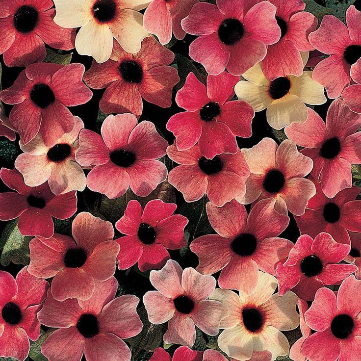Thunbergia alata 'Blushing Susie' - Half-hardy Annual Seeds - Thompson & Morgan