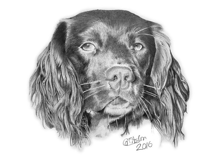 Pencil drawing of a Springer Spaniel dog. This beauty is called Alfie