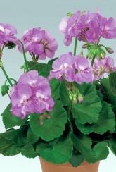 Geranium Zonal Blue Wonder - Plants