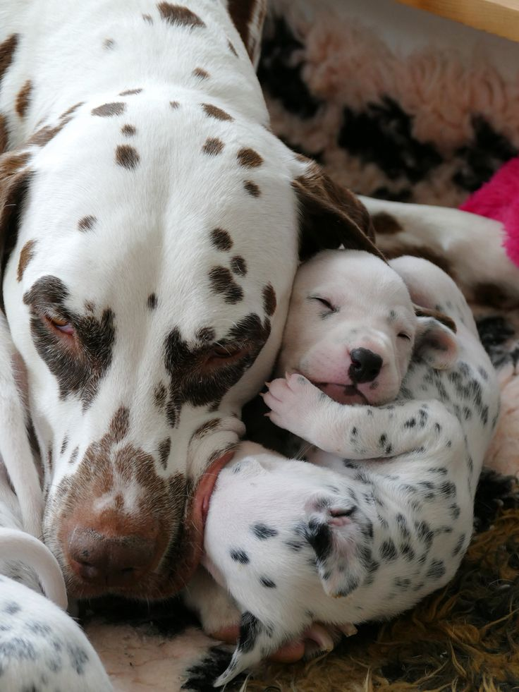 #Dalmatian puppy's a sleep with mummy ❤️