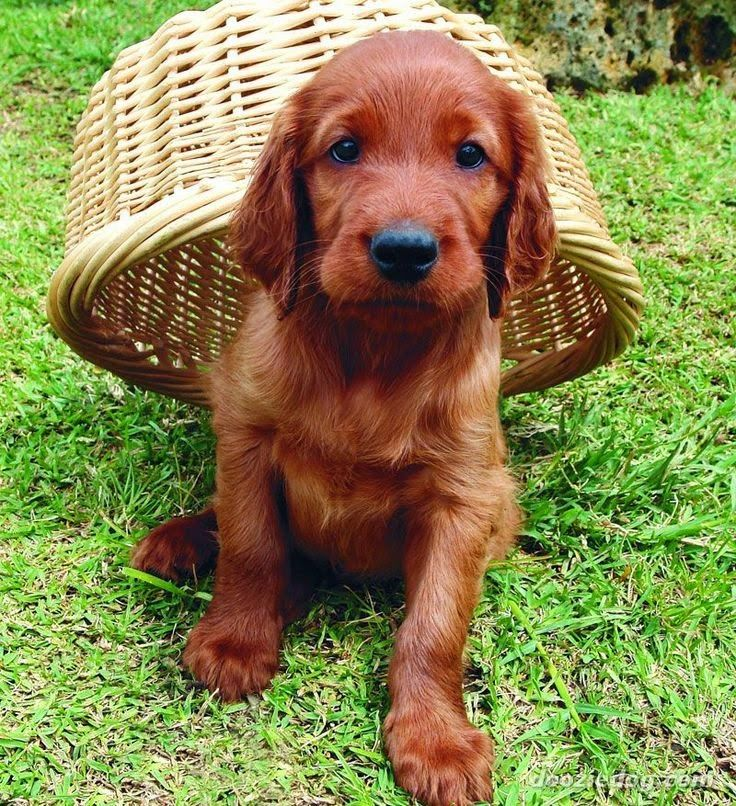 Irish setter puppy | Cute puppy and dog