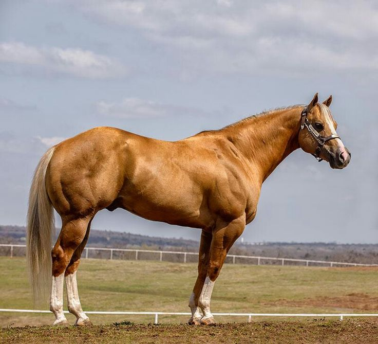 American Quarter Horse for Sale - The Complete Guide