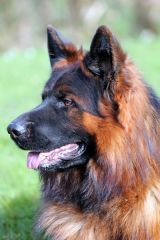 House-Barrett introduces red brown Long Haired German Shepherds and the Long-Coated German Shepherd Barrett - new pictures