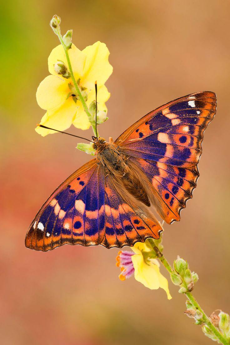 Rara farfalla europea