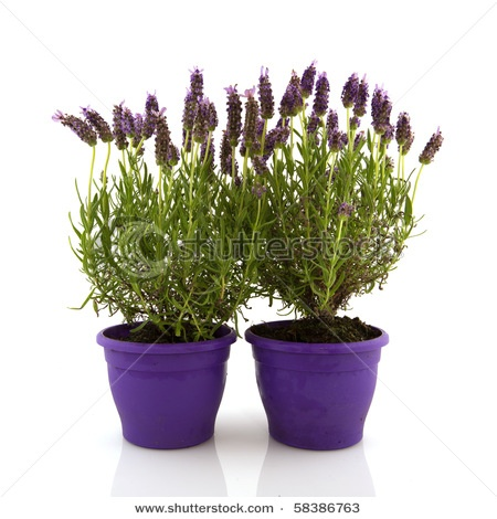 16 best images about lavender plants on pinterest white flowers plant pots and growing lavender - Growing lavender pot ...