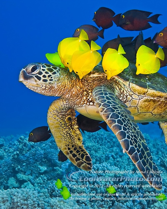 Arizona Gold Swimming: 4156 Best Images About Hawaii On Pinterest