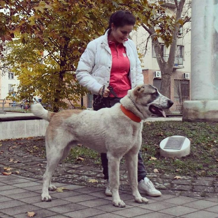Alabai, my dog, puppy (10month) , central asian shepherd