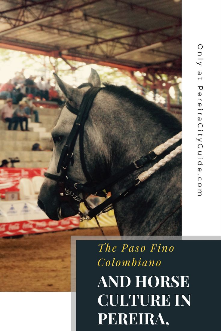 Explore the Paso Fino Horse world of Colombia. Pereira, Colombia #PereiraCityGuide Caballo Criollo Colombiano