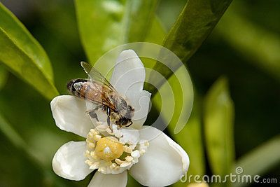 Bee pollinating one orange blossoms