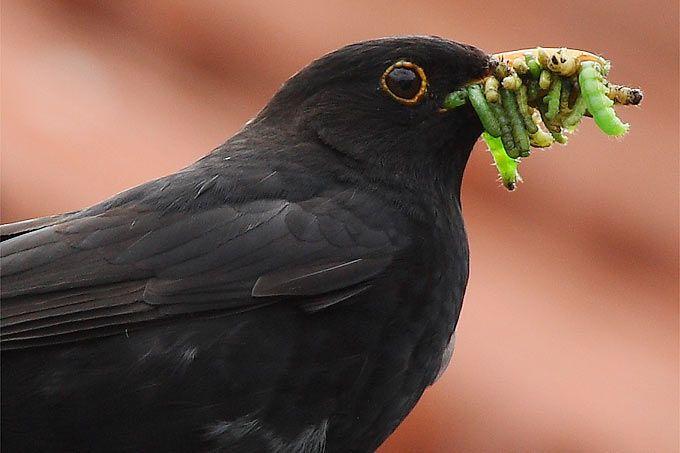 Die Amsel Vom Waldvogel Zum Gartenvogel Nabu Amsel Haustiere Kaufen Vogel
