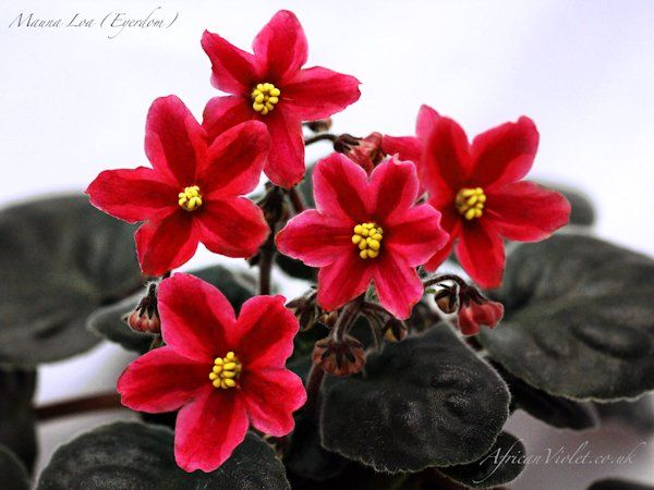 African Violet 'Mauna Loa' a true red chimera!  Way awesome.  I haven't seen very many of the true reds as chimeras that don't have pink or purple-burgundy tints.  I heard one of these sold on Ebay for more than $150.00 this past year.