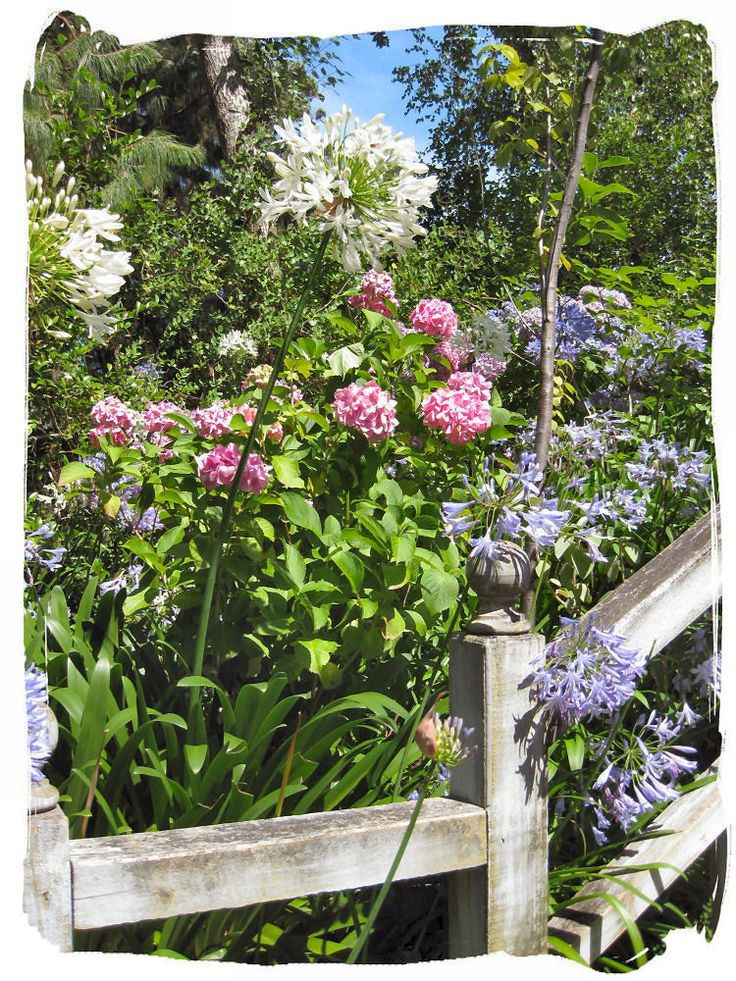 Agapanthus and hydrangeas
