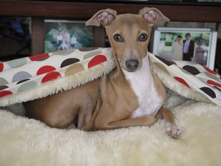 58 best our italian greyhounds images on pinterest