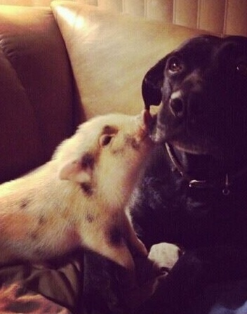 Photographic proof that black labs and tiny piggies are adorable together. #petnumber5 #baconisoverrated