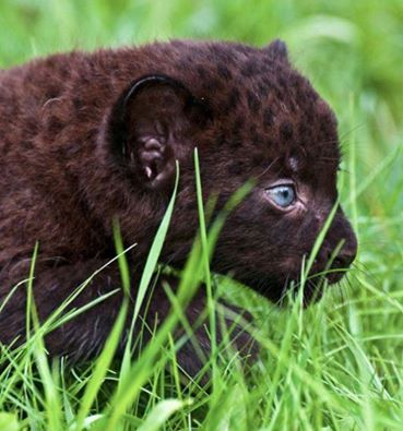 Bebek panter