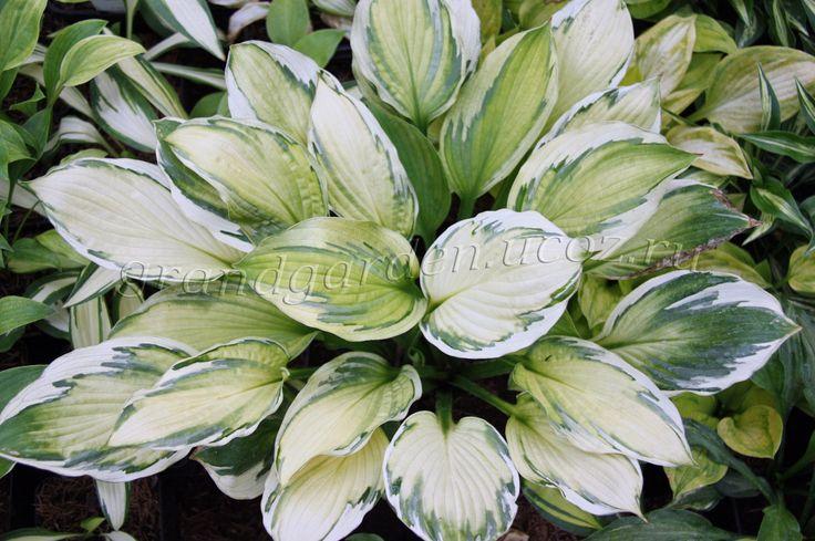 Captain's Adventure (Кэптейнс Эдвенче)  Листья овальные, с глубоким жилкованием, желто-зеленые отделяющие темно-зеленым перьевидным рисунком бело-кремовую кайму. Цветы светло-лавандовые. Высота 40-45 см. Рисунок начинает проявляться к июлю. Более контрастный окрас на утреннем солнце или в легкой полутени.  Многолетние садовые растения ~ GRAND GARDEN