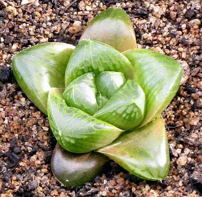 Succulent Plant Information: Haworthia hybrid springbokvlakensis x cymbiformis