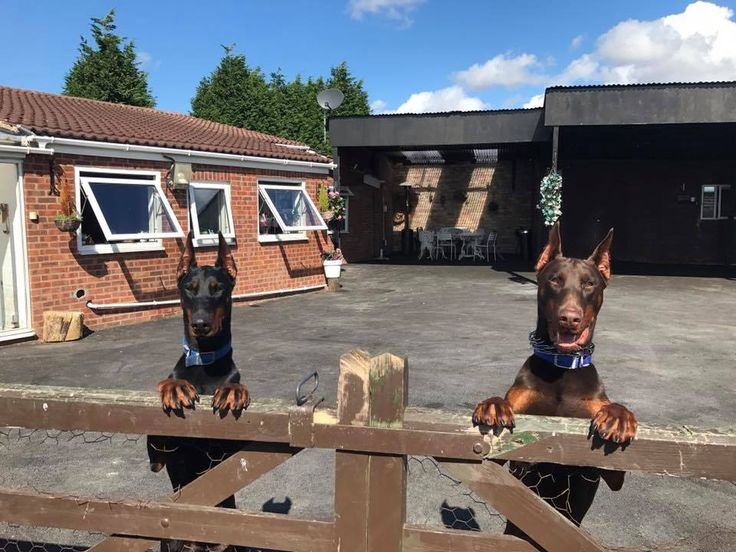 Brother and sister #Mika #Luga #Dobermans brown boy Black and Tan girl at #PDW  Www.protectiondogs.co.uk