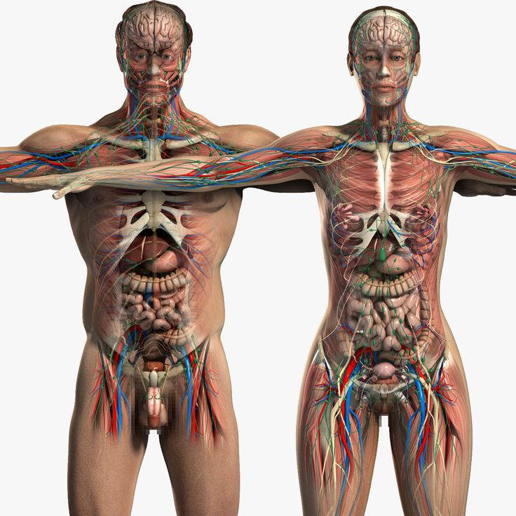 Anatomy of a male body