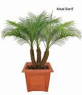 Buy Bonsai Trees - Canary Island