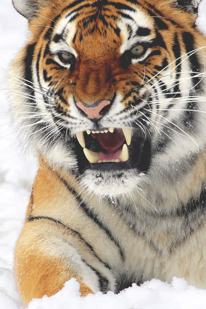 Amazing wildlife - Tiger and snow photo #tigers                                                                                                                                                      More