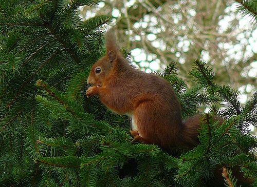 Nichoir pour écureuil roux