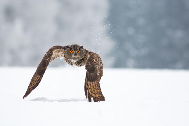 Eagle Owl - Take Off by Milan Zygmunt, via 500px