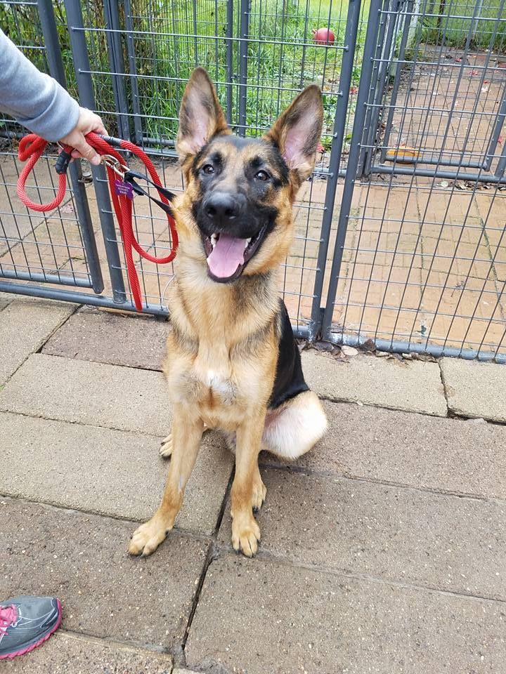 Adopt Charlie 1738 On With Images Dog Search German Shepherd