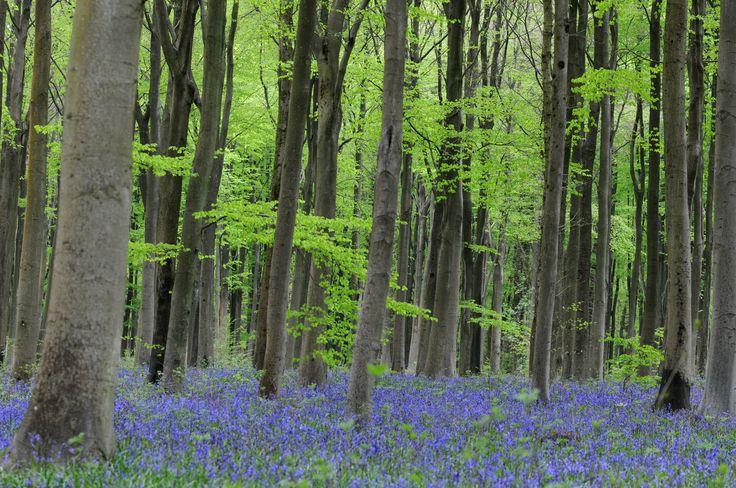 West Woods near Marlborough http://www.insidewiltshire.co.uk/bluebell-sundays-in-west-woods-manton-marlborough/